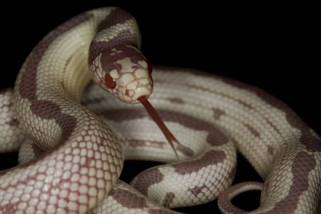 albino: Reversed striped albino California Kingsnake (Lampropeltis getulus californiae)