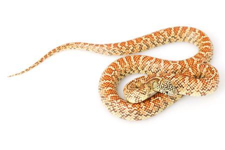 orange snake: Hypo Florida Kingsnake (Lampropeltis getula floridana) on white background. Stock Photo