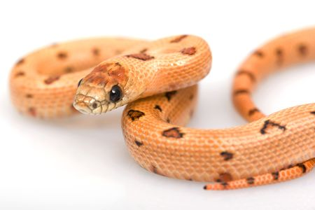 Thayeri Kingsnake (Lampropeltis mexicana thayeri) on white background. photo