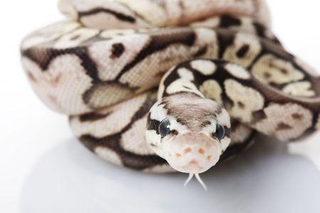 Ball Python (Python regius) on white background. Stock Photo - 3927156