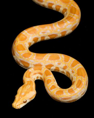Albino Burmese Python (Python molurus bivittatus) on black background.