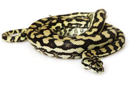 herpetology: Coastal Carpet Python (Morelia spilota mcdowelli) on white background.
