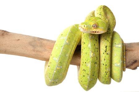 python: Green Tree Python (Morelia viridis) on white background.