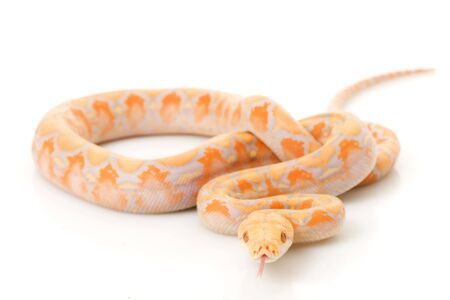 Lavender Albino Reticulated Python (Python reticulatus) on white background. photo