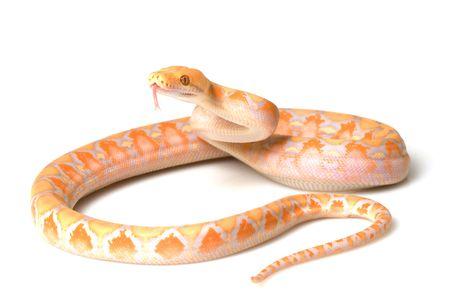 reticulatus: Lavender Albino Reticulated Python (Python reticulatus) on white background.