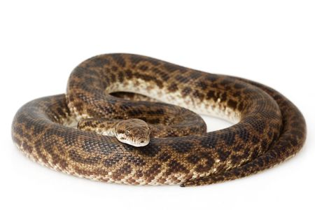 herpetology: Spotted Python (Antaresia maculosa) on white background.