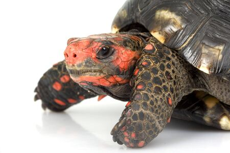 herpetology: Cherry Head Red-footed Tortoise (Geochelone carbonaria) on white background. Stock Photo