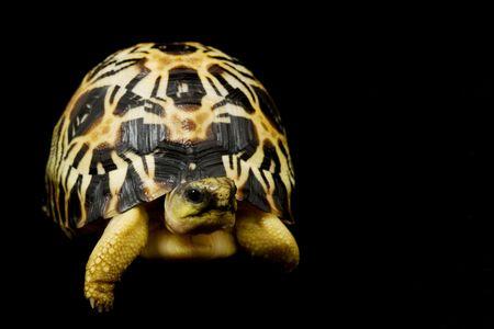 radiated: Radiated Tortoise (Astrochelys radiata) on black background.
