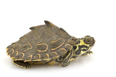 herpetology: Barbour¡s Map Turtle (Graptemys barbouri) on white background. Stock Photo