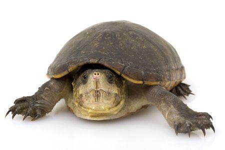 ancient turtles: Florida Mud Turtle (Kinosternon subrubrum subrubrum) on white background. Stock Photo