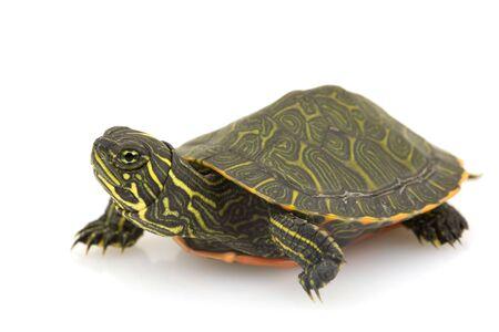 schildkroete: Northern Red-bellied Turtle (Pseudemys rubriventris) auf wei�em Hintergrund. Lizenzfreie Bilder