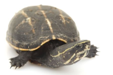herpetology: Three-Striped Mud Turtle (Kinosternon baurii) on white background. Stock Photo