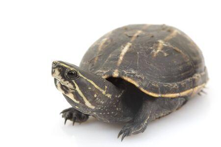 herpetology: Three-Striped Mud Turtle (Kinosternon baurii) on white background. Stock Photo