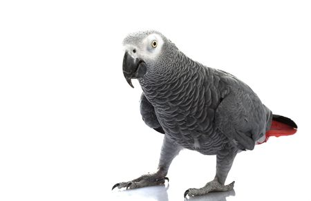 African Grey Parrot (Psittacus erithacus) isolated on white background.   photo