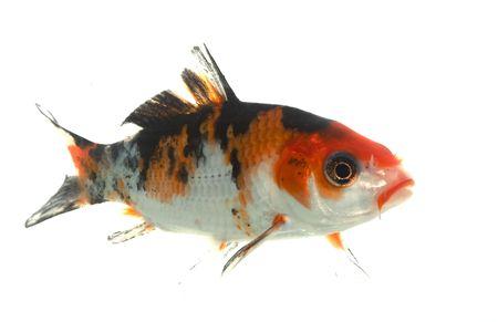 koi: Mix-colored Koi (Cyprinus carpio) isolated on white background.