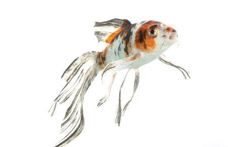 pez carpa: Mezcla de color Mariposa Koi (Cyprinus carpio), aislados en fondo blanco.