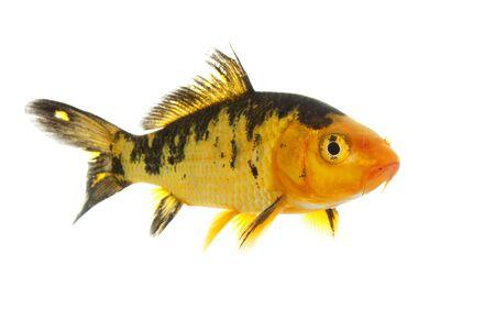 koi: Black and Gold Koi (Cyprinus carpio) isolated on white background.