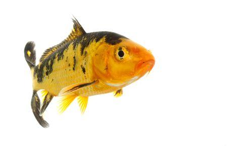 escamas de peces: Oro Negro y Koi (Cyprinus carpio), aislados en fondo blanco.