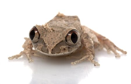 herpetology: African Big Eyed Frog isolated on white background.