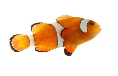 Clownfish (Pomacentridae Amphiprioninae) isolated on white background.