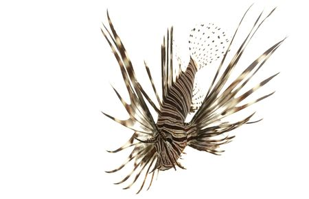 pterois volitans: Red Lionfish (Pterois volitans) isolated on white background.   Stock Photo