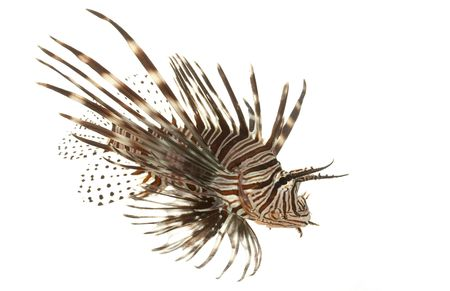 Red Lionfish (Pterois volitans) isolated on white background.   Stock Photo