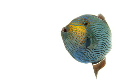 triggerfish: Hawaiian Black Triggerfish (Melichthys niger) isolated on white background. Stock Photo