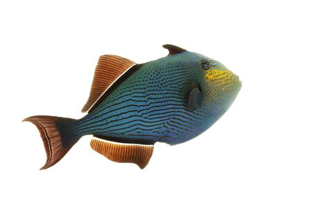 Hawaiian Black Triggerfish (Melichthys niger) isolated on white background. Stock Photo - 4240590