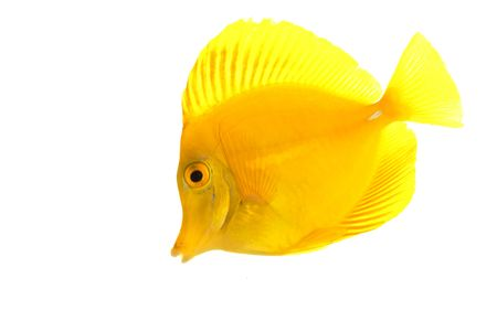 tang: Yellow Tang fish (Zebrasoma flavescens) isolated on white background. Stock Photo