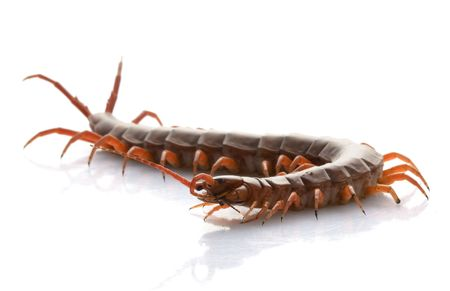 herpetology: Vietnamese Giant Centipede (Scolopendra subspinipes) isolated on white background.