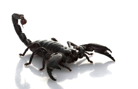 herpetology: Emperor Scorpion (Pandinus imperator) isolated on white background. Stock Photo