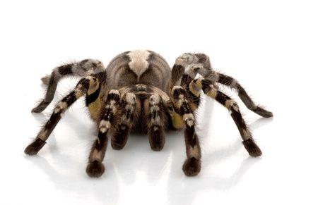 tarantula: Indian Ornamental Tarantula (Poecilotheria regalis) isolated on white background.