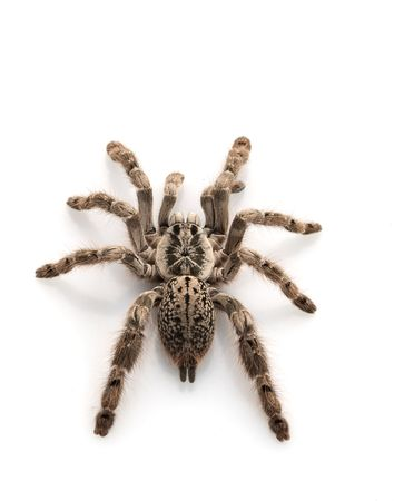 tarantula: Ornamental Baboon Tarantula (Heteroscoda maculata) isolated on white background. Stock Photo