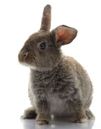 loveable: Grey Rabbit isolated on white background.