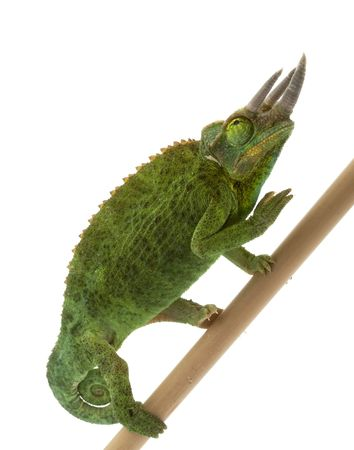 Jackson�s Chameleon (Chamaeleo jacksonii merumontanus) isolated on white background. photo