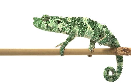 Meller�s Chameleon (Chamaeleo melleri) isolated on white background. photo