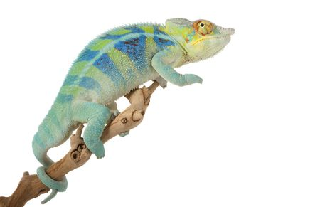 Ambanja Panther Chameleon (Furcifer pardalis) isolated on white background. photo