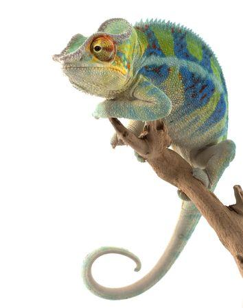 Ambanja Panter kameleon (Furcifer pardalis) geïsoleerd op een witte achtergrond.  Stockfoto