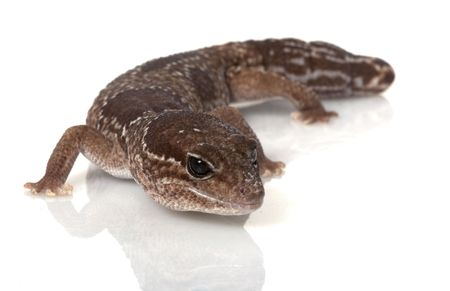 herpetology: Jungle African Fat-tailed Gecko (Hemitheconyx caudicinctus)  isolated on white background.