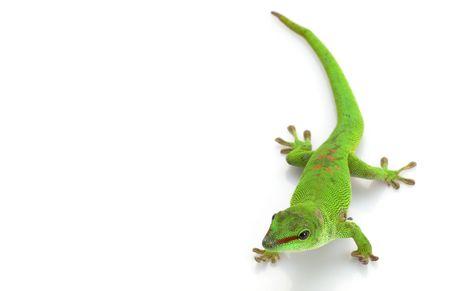 herpetology: Giant Day Gecko (Phelsuma madagascariensis grandis) isolated on white background.   Stock Photo