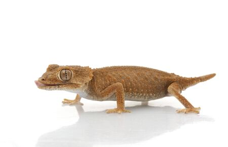 Helmeted Gecko (Tarentola chazaliae) isolated on white background.