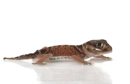 herpetology: Smooth Knob-tailed Gecko (Nephrurus levis occidentalis) isolated on white background.