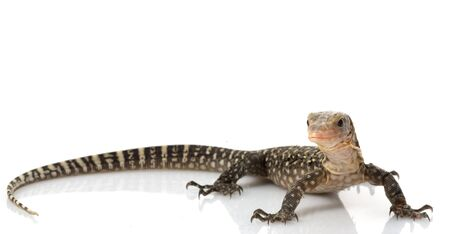 flavescens: Yellow Monitor Lizard (Varanus flavescens) isolated on white background. Stock Photo