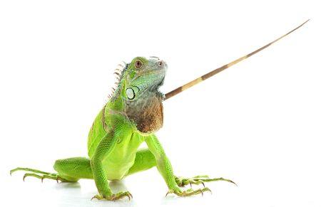 herpetology: Green Iguana (Iguana iguana) isolated on white background.