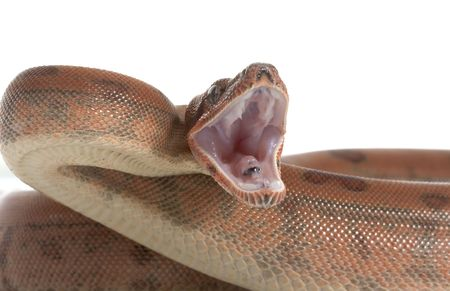 Hypo Central American Boa (Boa constrictor imperator) isolated on white background. Stock Photo - 4314169