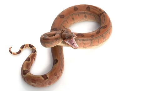 herpetology: Hypo Central American Boa (Boa constrictor imperator) isolated on white background. Stock Photo