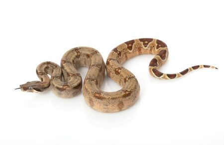 Hypo Columbian Red-tailed Boa (B. c. Constrictor) on white background.