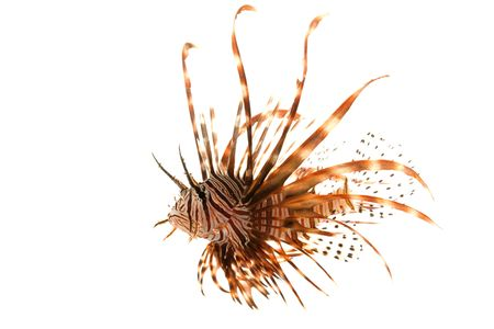 pterois volitans: Volitan Lionfish (Pterois volitans) isolated on white background.