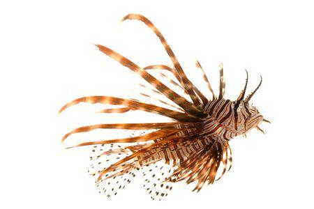 Volitan Lionfish (Pterois volitans) 흰색 배경에 고립.