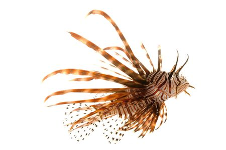 reef fish: Volitan Lionfish (Pterois volitans) isolated on white background.